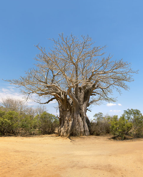 Baobab tree in the bush illustrating the brand of Ukomelela HR